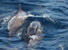 Dolfijnen spotten op Tenerife.